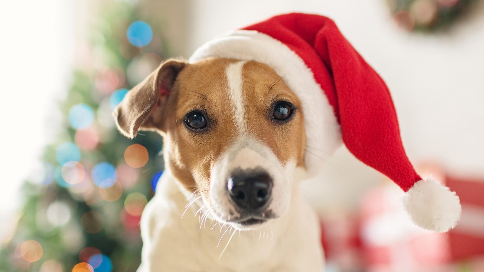 Kiskedvencek karácsonya – Amikor a szőrmók kerül a középpontba - Nextfoto
